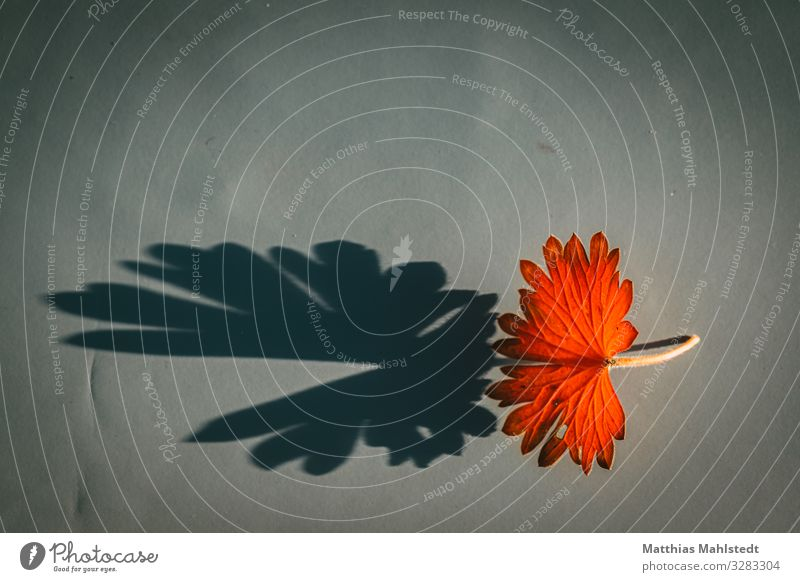 leaf with shadow Environment Nature Plant Autumn Leaf Illuminate Faded To dry up Exceptional Natural Orange Red Decline Transience Colour photo Multicoloured
