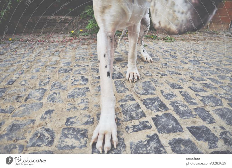 want to snuffle Dog Large Mastiff Dog's snout Legs Paw Pet Love of animals Cobblestones Detail Section of image Movement Strange Exceptional Perspective