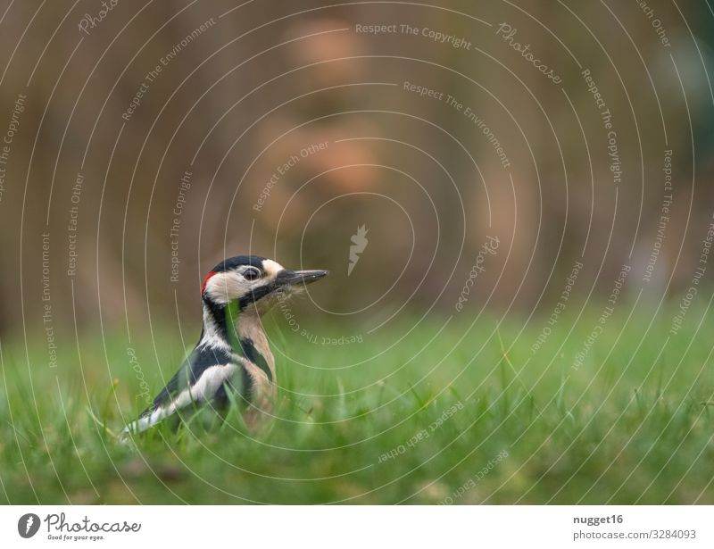 great spotted woodpecker in the grass Environment Nature Plant Animal Spring Summer Autumn Beautiful weather Grass Meadow Garden Park Forest Wild animal Bird