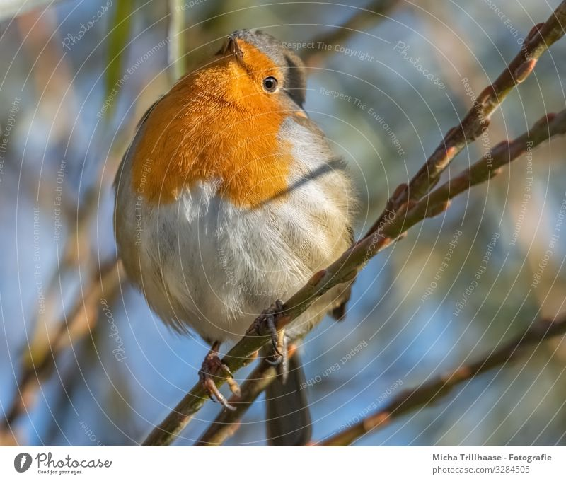 Curious robin Nature Animal Sky Sun Sunlight Beautiful weather Tree Twigs and branches Wild animal Bird Animal face Wing Claw Robin redbreast Head Eyes Beak