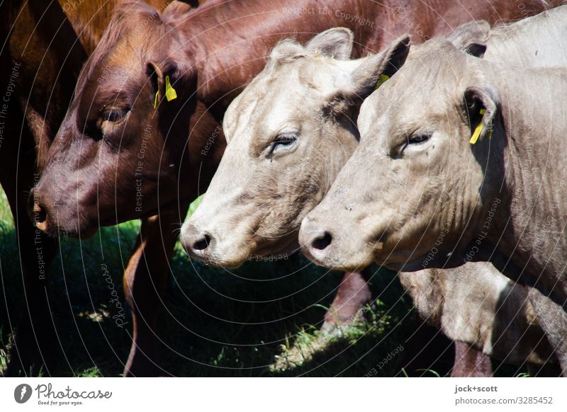 Threesome Agriculture Forestry Summer Warmth Cattle Pasture Müritz Farm animal Cow 3 Animal Signs and labeling Stand Authentic Healthy Near Brown Emotions Moody