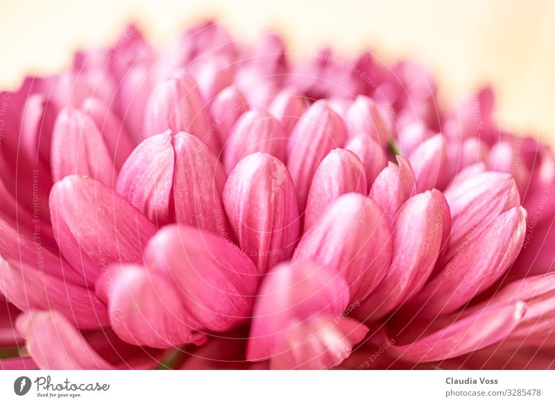 Chrysanthemum pink Nature Plant Blossom Chrysabthema Moody Happy Spring fever Safety Protection Safety (feeling of) Sympathy Friendship Life Calyx Pink