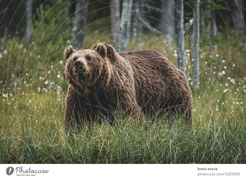 Brown Bear Hunting Freedom Adults Environment Nature Landscape Animal Earth Climate change Weather Tree Forest Fur coat Wild animal 1 Walking Threat Large
