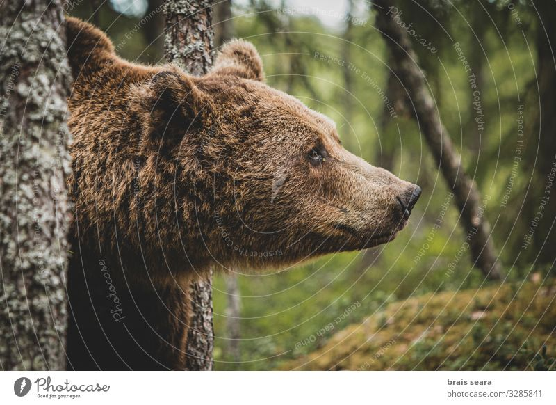 Brown Bear portrait Hunting Tourism Adventure Freedom Environment Nature Landscape Animal Earth Climate change Weather Tree Forest Fur coat Wild animal 1