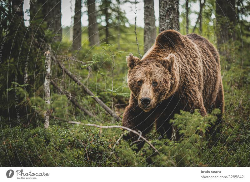 Brown Bear walking on forest Hunting Freedom Adults Environment Nature Landscape Animal Earth Climate change Weather Tree Forest Fur coat Wild animal 1 Walking