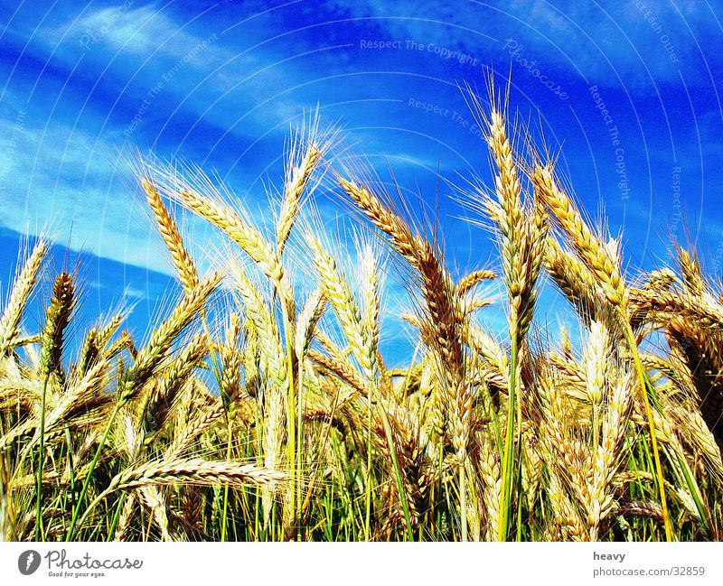 Nature Sky Blue Summer Field Cornfield Ear of corn