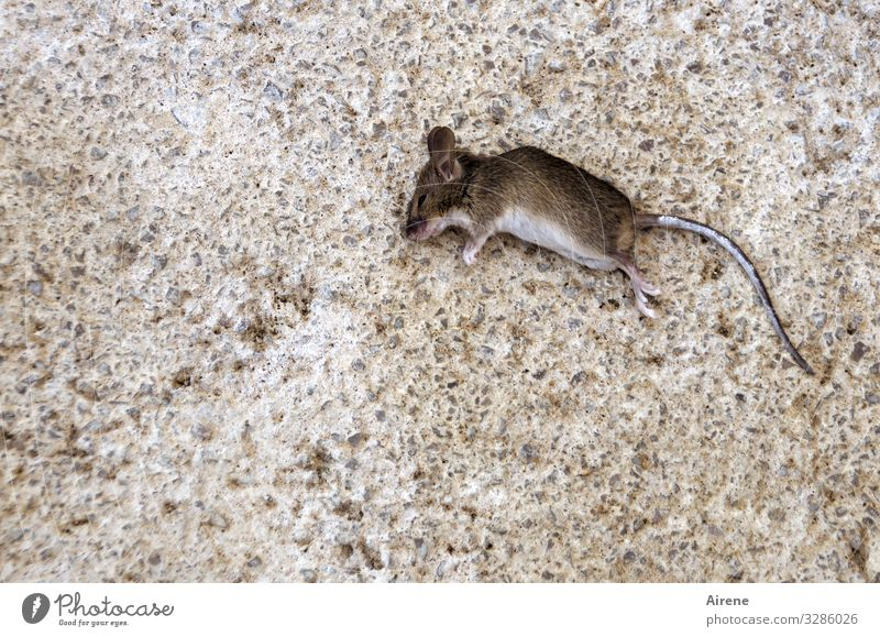 Nature Animal Sadness Small Death Brown Gray Lie Transience Grief Creepy Mouse Terrace Jinx Dead animal