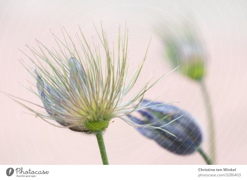 faded cowbell/pulsatilla vulgaris against a neutral background Plant Flower Blossom Anemone Spring flower Esthetic Exceptional Fragrance Fantastic Friendliness