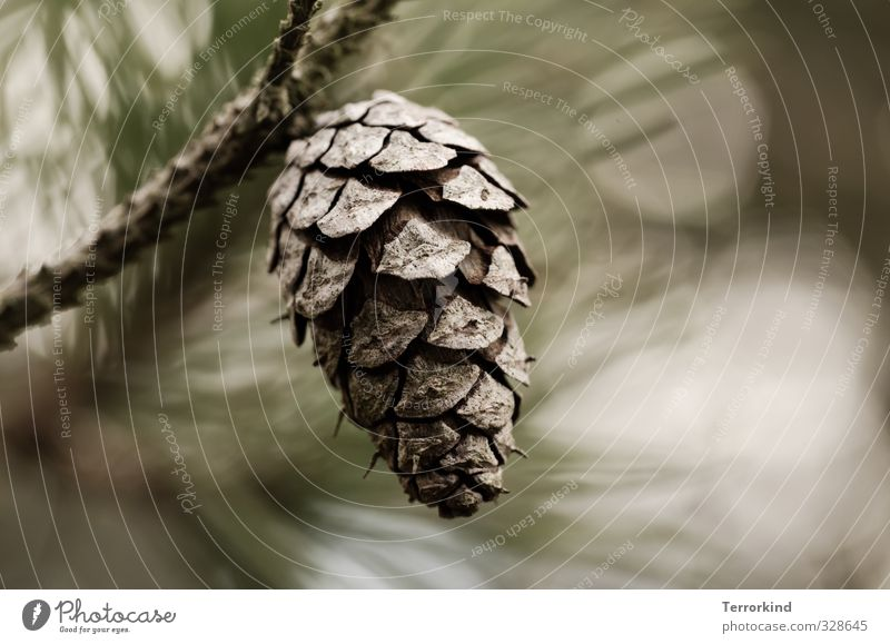 everything.falls. Fir cone Cone Tree Coniferous trees Fir tree Christmas tree Autumn Brown Smooth Shallow depth of field Blur Twig Branch Small Nature Air