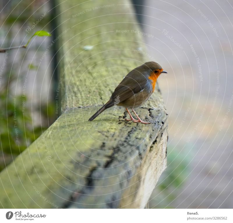 robin Animal Bird 1 Wood Flying Feeding Cute Red Colour photo Exterior shot Shallow depth of field Animal portrait