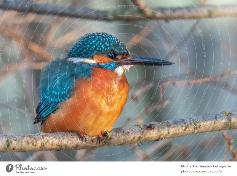 Kingfisher on a branch Environment Nature Animal Sun Sunlight Beautiful weather Tree Twigs and branches River bank Wild animal Bird Animal face Wing Claw Beak