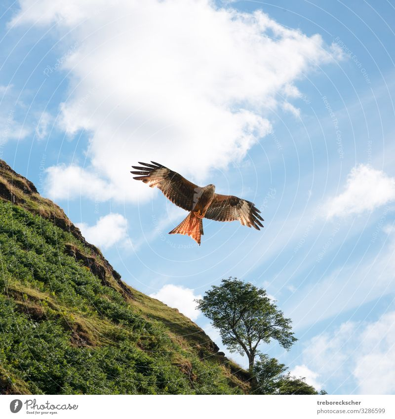 Red kite in front of green hill Beautiful Hunting Freedom Nature Animal Sky Clouds Tree Grass Hill Bird Wing Flying Large Natural Speed Wild Blue Brown Green