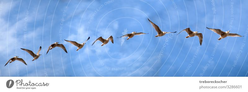 Bird flight study of a sea gull Elegant Beautiful Freedom Ocean Nature Animal Air Sky Clouds Coast Wild animal Wing Group of animals Flying Speed Blue Brown