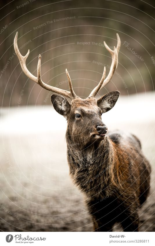 Hirsch looks watchfully into the distance Deer Forest Nature out beautiful time Hunter hunted Elegant already proudly 2 two Brown being out observantly elegance