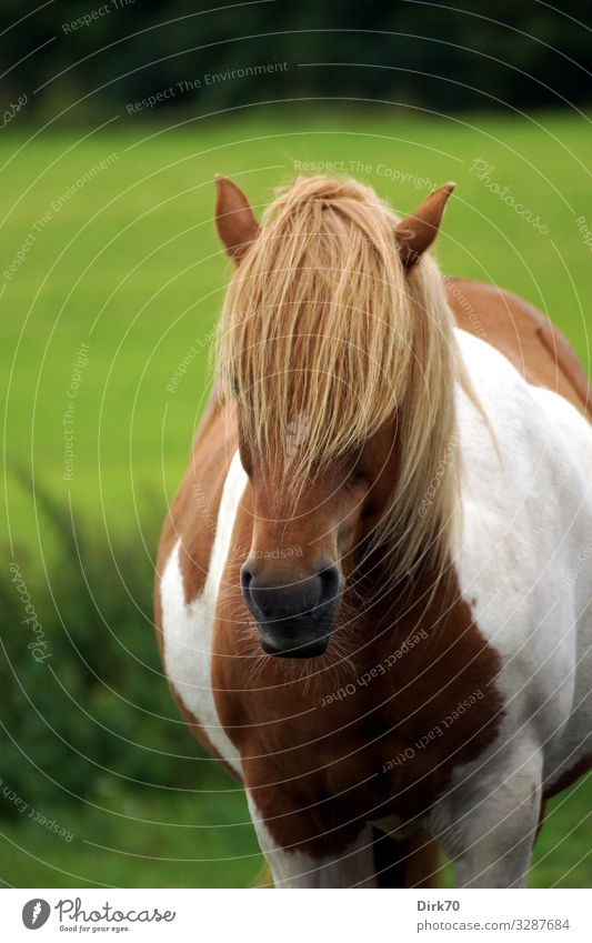 Portrait of an Icelandic pony Ride Summer Tree Grass Bushes Meadow Forest Pasture Denmark Hair and hairstyles Bangs Animal Pet Farm animal Horse Animal face