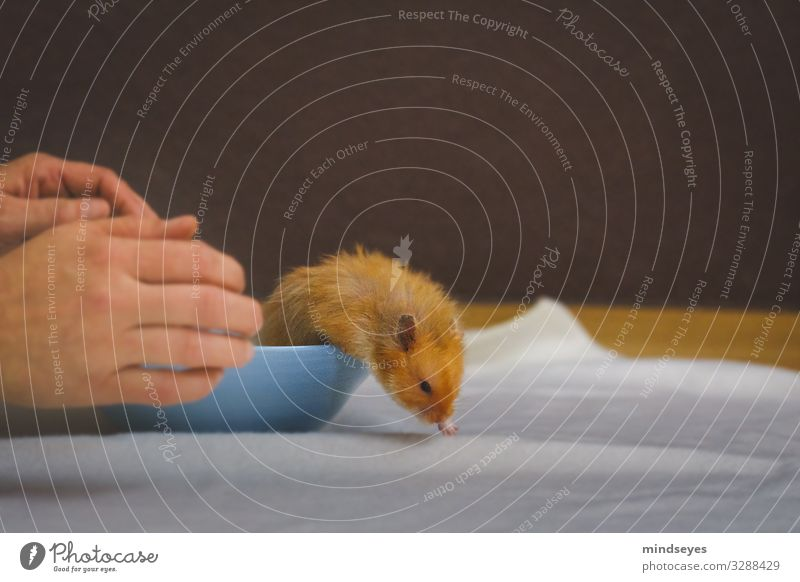 A hamster runs away Leisure and hobbies Flat (apartment) Hand Pet Hamster 1 Animal Bowl Running Movement Discover Catch To hold on Feeding Walking Authentic