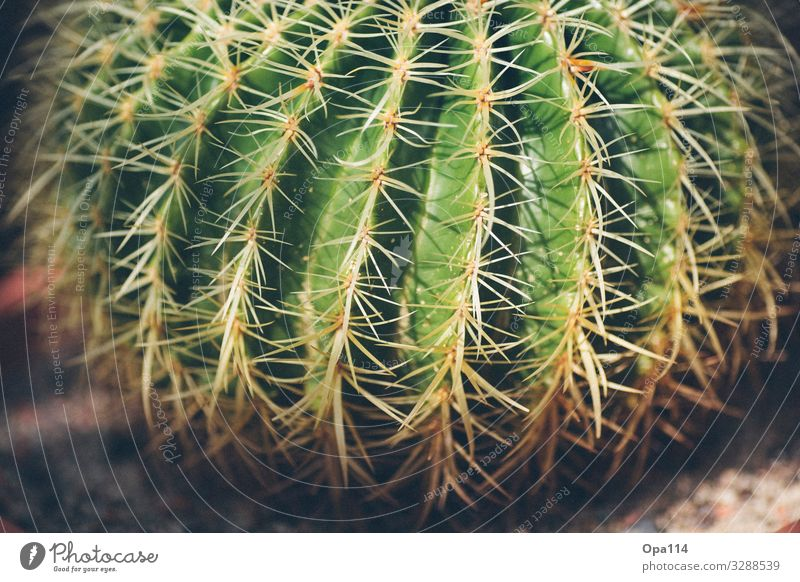 My little green cactus Summer Plant Cactus Foliage plant Point Thorny Brown Green Colour photo Exterior shot Close-up Detail Macro (Extreme close-up) Deserted