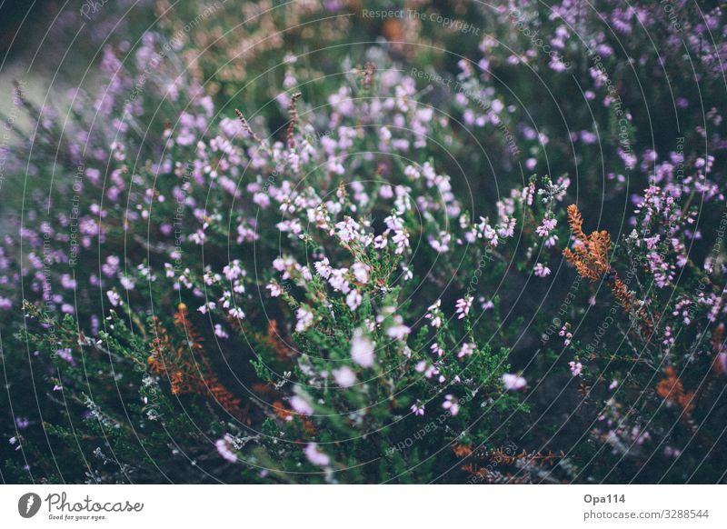 """broom heather Environment Nature Plant Animal Summer Foliage plant North Sea Island Blossoming Faded Green Violet Pink """"Sylt Heather"""" Colour photo Exterior shot"""