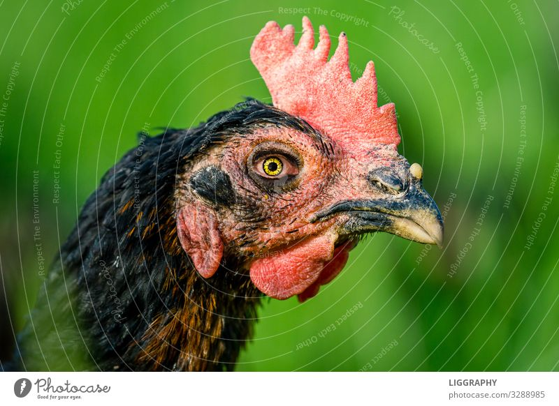 The wild chicken. Breakfast Nature Animal Pet Animal face 1 Stress Barn fowl Chicken Gamefowl Eating Egg Soft-boiled Garden Free-range rearing Easter Protein