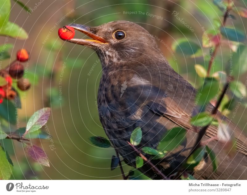 Blackbird with berry in beak Nature Animal Sun Sunlight Beautiful weather Tree Bushes Leaf Berries Twigs and branches Wild animal Bird Animal face Wing Head