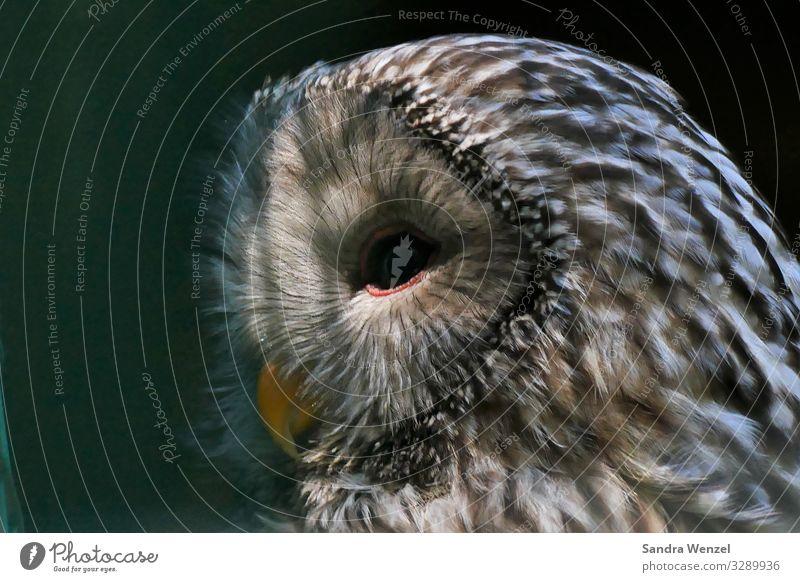 Animal Bird Free Glittering Feather Zoo Crouch Owl birds Snowy owl Owl eyes