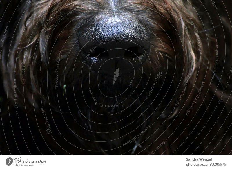 Ellis nose... Dog Pelt 1 Animal Hiking Brown Odor sniffer dog Goldendudel Poodle Nose Colour photo Detail Deserted Forward