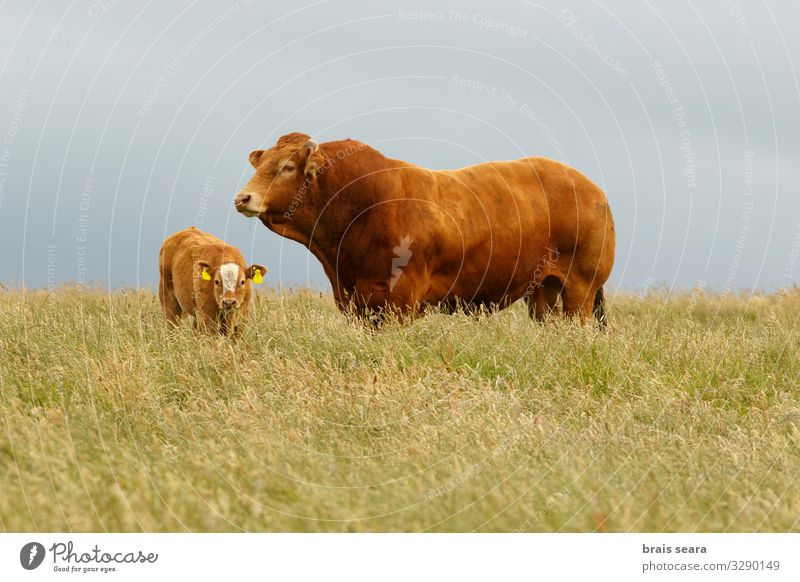 Bull and calf Nature Green Landscape Animal Calm Black Food Eating Natural Meadow Family & Relations Grass Brown Field Europe Stand