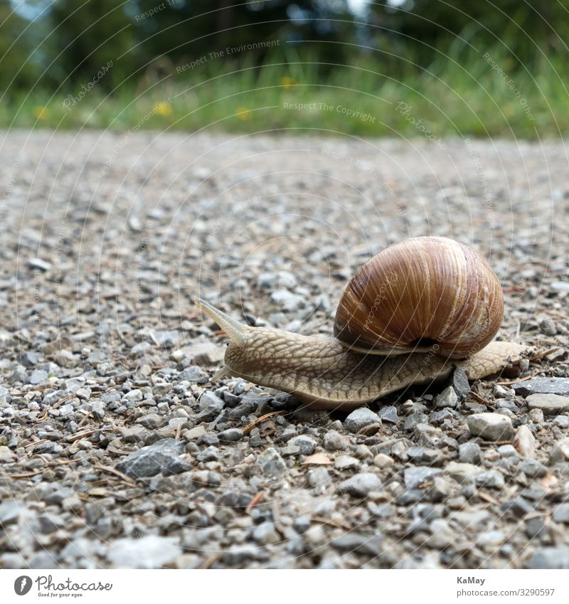 Close up of a Roman snail, Helix pomatia Nature Animal Bavaria Germany Europe Lanes & trails Wild animal Snail Vineyard snail 1 Crawl Brown Movement Loneliness