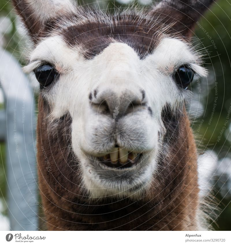 D. llama Animal Farm animal Wild animal Smiling Laughter Looking Friendliness Beautiful Cuddly Cute Happiness Contentment Serene Joie de vivre (Vitality)