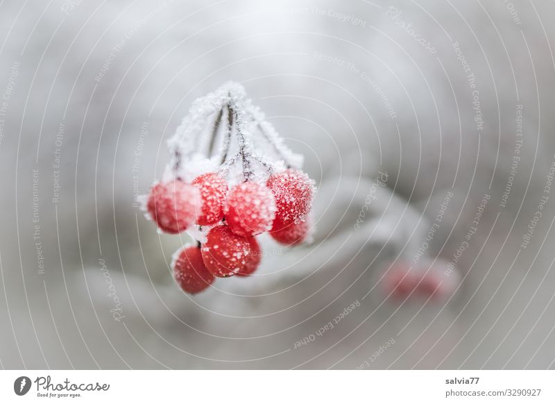 Frozen Berries Environment Nature Plant Winter Ice Frost Snow Bushes Berry bushes Cold Gray Red White Hoar frost Colour photo Exterior shot Close-up Deserted