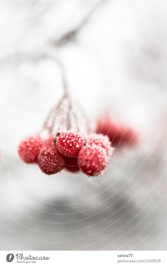 Ice Age | Frozen Nature Winter Frost Snow Plant Bushes Twig Berry seed head Fruit Cold Red White Hoar frost Berries Colour photo Exterior shot