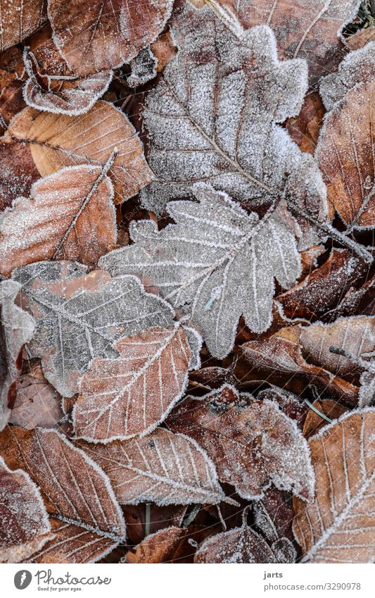 Nature Plant Leaf Forest Winter Autumn Cold Natural Brown Gray Ice Lie Frost Frozen