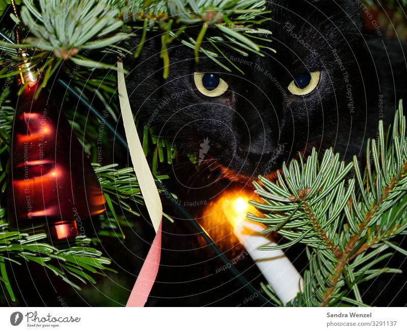 Sirius in the fir tree Winter Tree Contentment Anticipation Trust Safety (feeling of) Christmas & Advent Fir tree Christmas tree Cat Saucer-eyed Colour photo