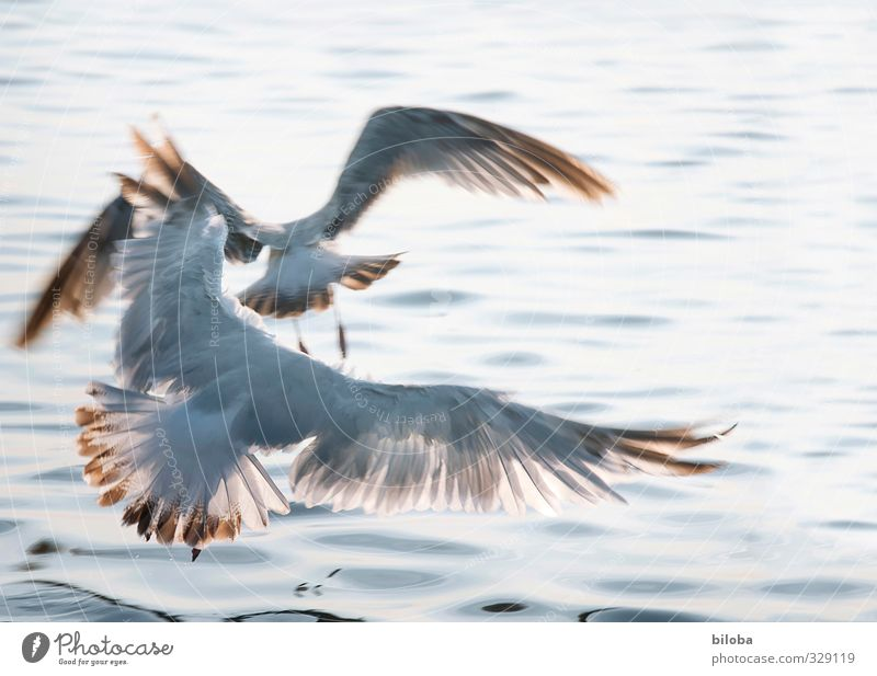 waterfowls Animal Water Waves North Sea Seagull 2 Wing Flying Blue Gray up and away Deserted Day Sunlight Motion blur Bird's-eye view Animal portrait Downward