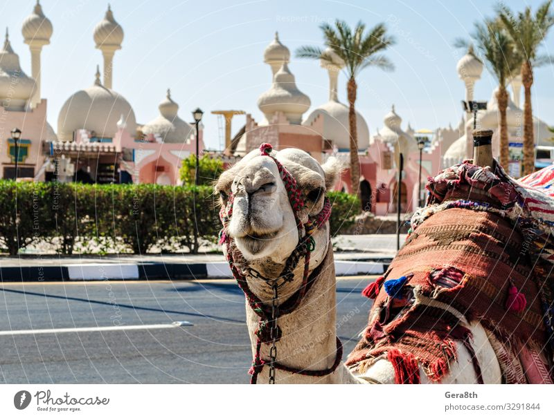 A riding camel in a bright blanket on the sunny street of Egypt Exotic Vacation & Travel Tourism Entertainment Animal Oasis Architecture Transport Street Cloth