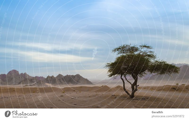 one green tree in the desert of egypt Exotic Vacation & Travel Summer Mountain Nature Plant Sand Sky Clouds Horizon Tree Leaf Rock Stone Natural Blue Green