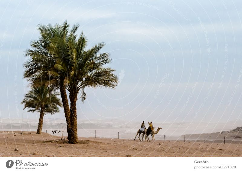 people ride camels in the desert Sharm El Sheikh Egypt Exotic Vacation & Travel Tourism Trip Adventure Mountain Nature Landscape Sand Sky Horizon Climate Plant