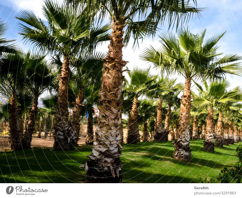 palm alley and green trimmed lawn Egypt Sharm El Sheikh Vacation & Travel Sun Sky Tree Grass Leaf Park Street Green South Sinai Alley background Blue sky