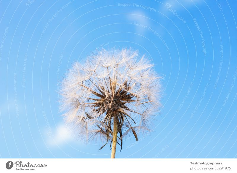 Dandelion against blue sky. Mature dandelion. Summer flower Environment Plant Flower Blossom Growth Natural Cute Loneliness blowball Blue background Blue sky