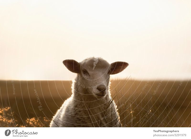 Sheep portrait staring in sunlight. White lamb on Sylt island Summer Landscape Beautiful weather Grass North Sea Stand Loneliness Frisia Germany