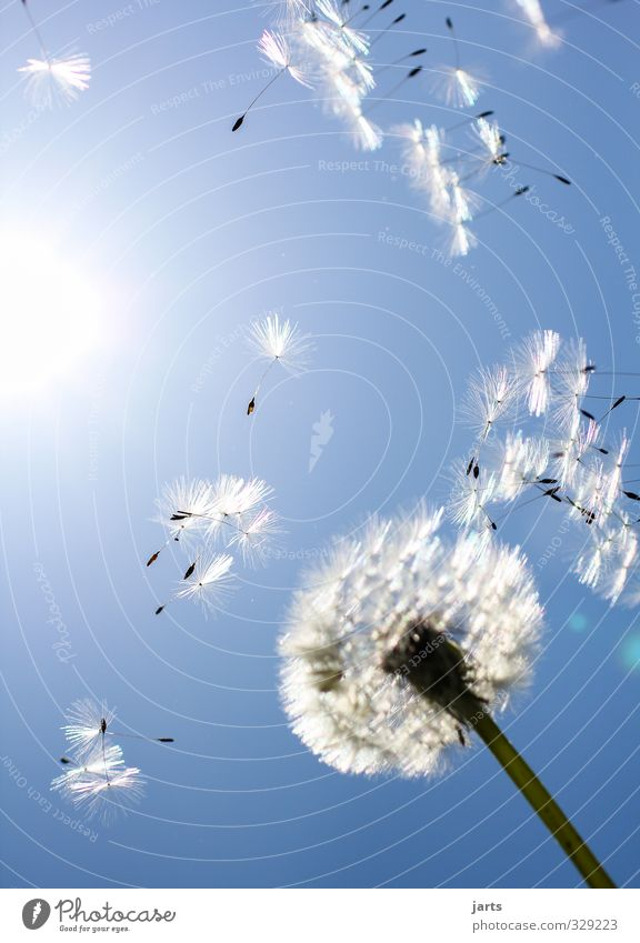 Sky Nature Blue Summer Plant Environment Spring Blossom Flying Beautiful weather Free Joie de vivre (Vitality) Infinity Dandelion Hover Spring fever