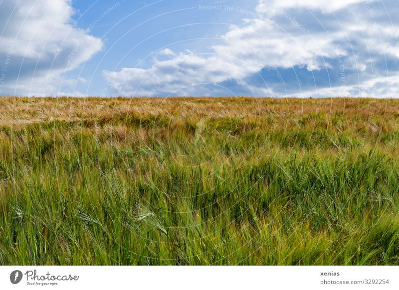 Cornfield with blue sky without bed Grain Nutrition Organic produce Vegetarian diet Agriculture Forestry Nature Landscape Sky Clouds Summer Climate
