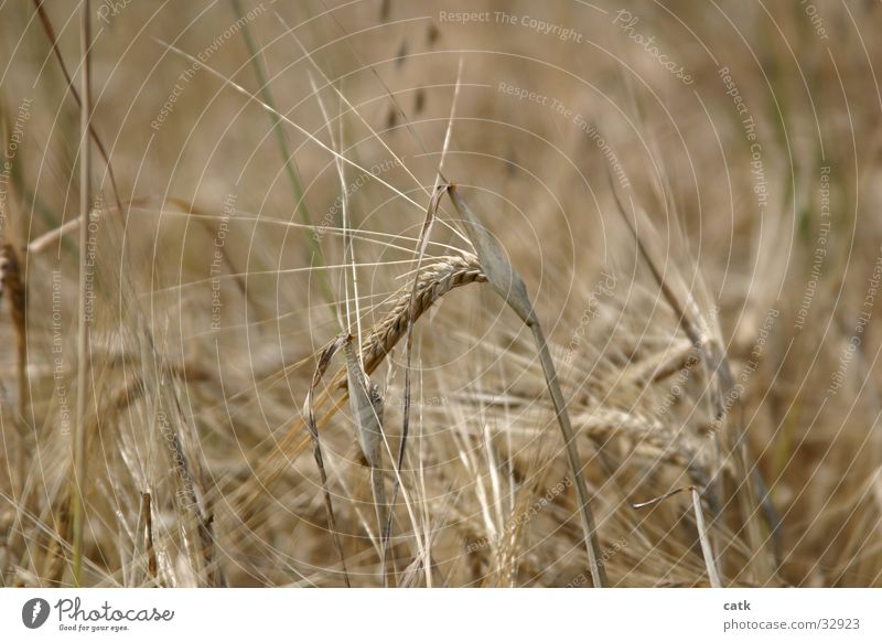 Nature Plant Summer Healthy Blonde Field Grain Harvest Sustainability Thorny Ear of corn Grain field Agricultural crop