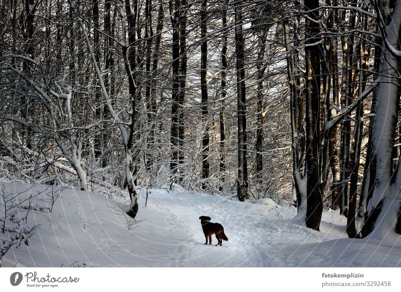 Dog in winter forest Winter Winter mood Winter forest Snowscape Hiking trip To go for a walk Forest walk Forest atmosphere Lanes & trails Wegekreuz Road marking
