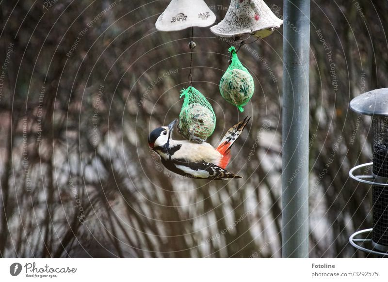 The other day at the corn dumpling Environment Nature Animal Winter Plant Bushes Wild animal Bird Wing 1 Near Natural Red Black White Corn dumpling To feed
