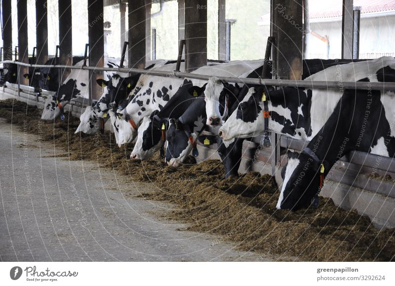 Cowshed cows cattle Milk Milk production Farmer peasant milk price Keeping of animals Ecological Black and white vacation holidays Cheese Feed organic posture