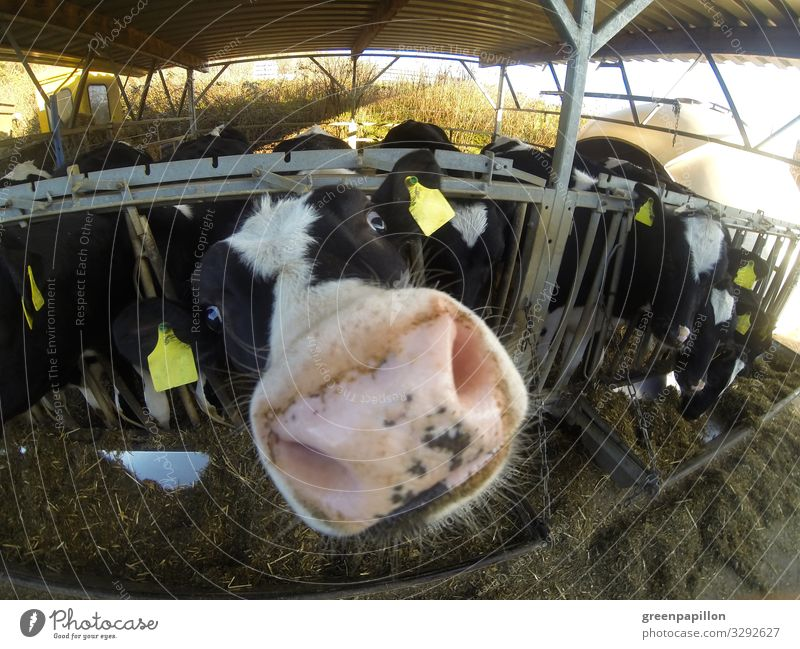 Peekaboo - Cattle sniffs curiously Vacation & Travel Agriculture Forestry Farm animal Cow Animal face Group of animals Herd Looking Milk Dairy Products Cheese