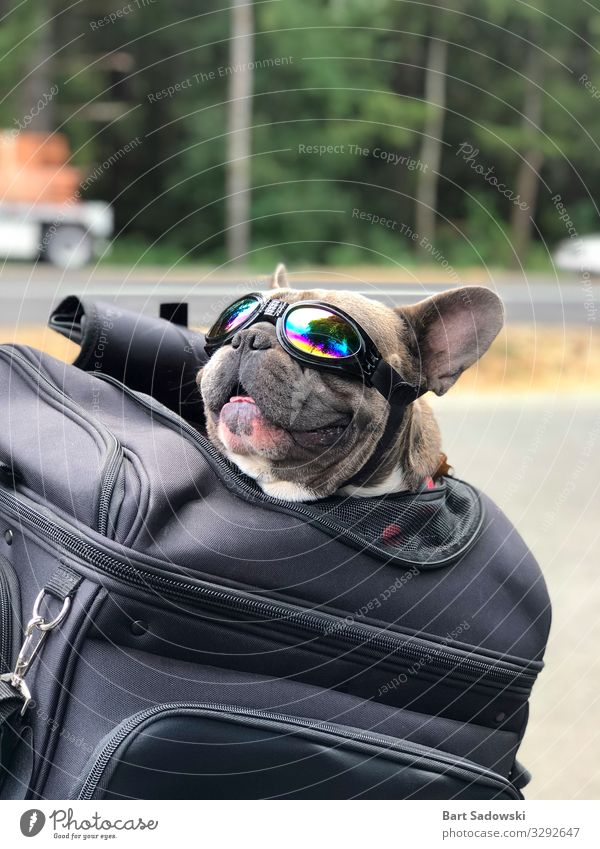 Happy Pet Roadtrip Joy Vacation & Travel Trip Freedom Animal Sunlight Street Motorcycle Dog Smiling Love Happiness Love of animals To enjoy Logistics bulldog