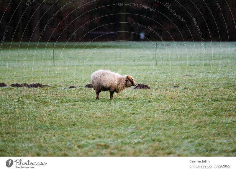 Lonely white sheep on a green meadow Nature Landscape Animal Spring Summer Autumn Winter Park Meadow Field Pasture Farm animal Wild animal Sheep 1 Observe