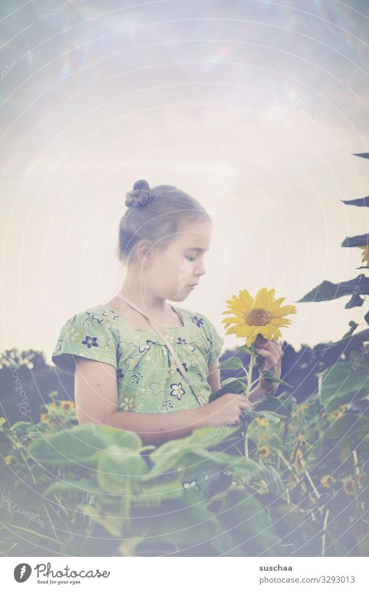 girl in a field of sunflowers looking at a sunflower Child Field Sunflowers Yellow Landscape Meadow Summer Nature natural Exterior shot Agriculture bleed